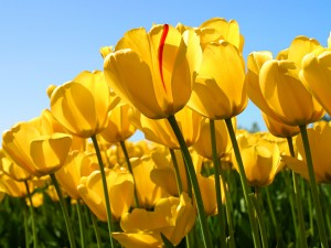 Picture of Yellow Tulips